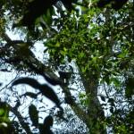 Look closer! A black spider monkey