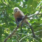 Another Brown Capuchin Monkeys watching me
