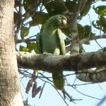 Mealy parrot - faaaar up the tree