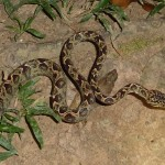In the evening, we saw a little boa (no, not a Federboa!), but they are not poisonous