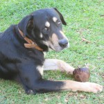 Our family dog - what does a poor island dog do if it does not has a bone? Right... It gets a coconut!