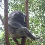 Koalas haben wirklich keine Hängematten