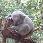 Koalas haben keine Hängematten