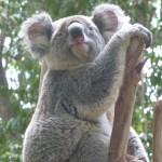 Manche Koalas haben extra flauschige Ohren