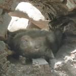 Zoo-Wombats sind genauso faul wie Koalas