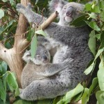 Koalas sind in allen Größen putzig