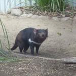 Tasmanische Teufel sehen garnicht so teuflisch aus