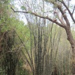 Another giant bamboo