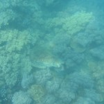 ...another green sea turtle - relaxing in the corals