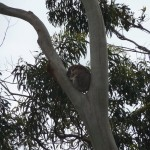 For finding a wild Koala, just look in somebodies front yard...