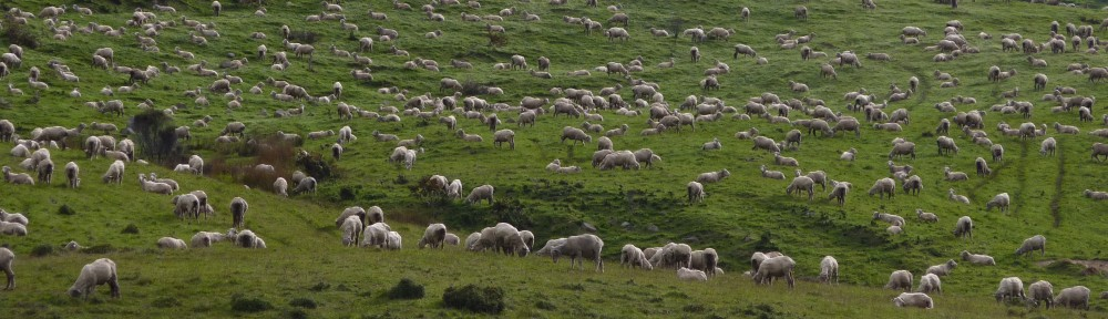 The land of sheep, New Zealand