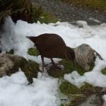 We also met some locals, e.g. this Weka, a flightless bird