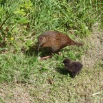 Mum Weka and baby Weka
