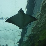 Huge manta ray from underneath