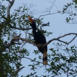 And the tallest we saw (105cm): Rhinoceros hornbill