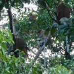 Proboscis monkeys are only found on Borneo