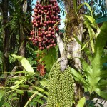 Fruits of a palm tree – the gold for the palm oil industry