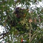Orang-Utan lady in the wild