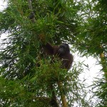 By the way: Outside 4, inside with the tourists 1 Orang-Utan this afternoon