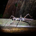 Huge stick insects – thats disguise in perfection (unless they try to blend in with the planks of the walk-way that is)
