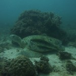 """Almost crashed against it as there was a strong current, Thorsten pointed on sth (Nudibranch??) and  the turtle was resting behind the rock in the """"shade"""" of the current"""