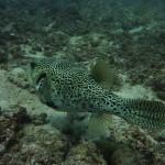 Nice puffer fish