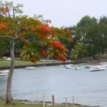Flame tree - everywhere blooming on the island at the moment
