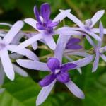 Multilila Blüten