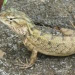 Mrs Lizard