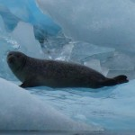 "Sea lion relaxing on the freezing ""island"""
